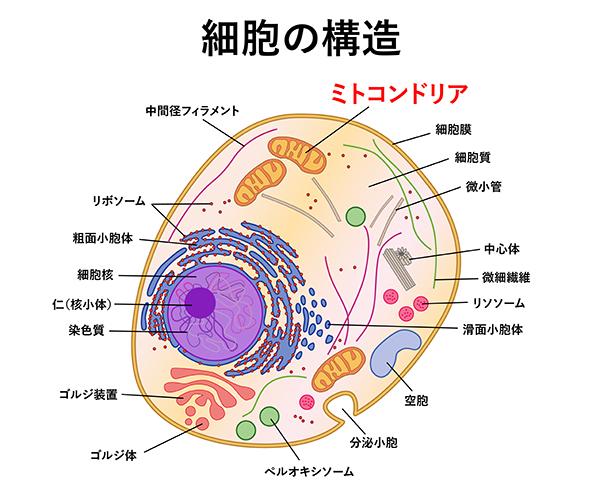 細胞 構造 画像
