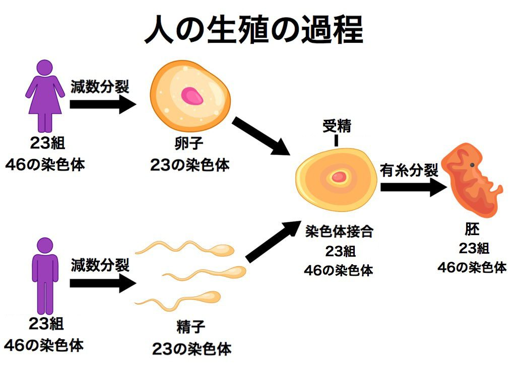 卵子、精子→個体