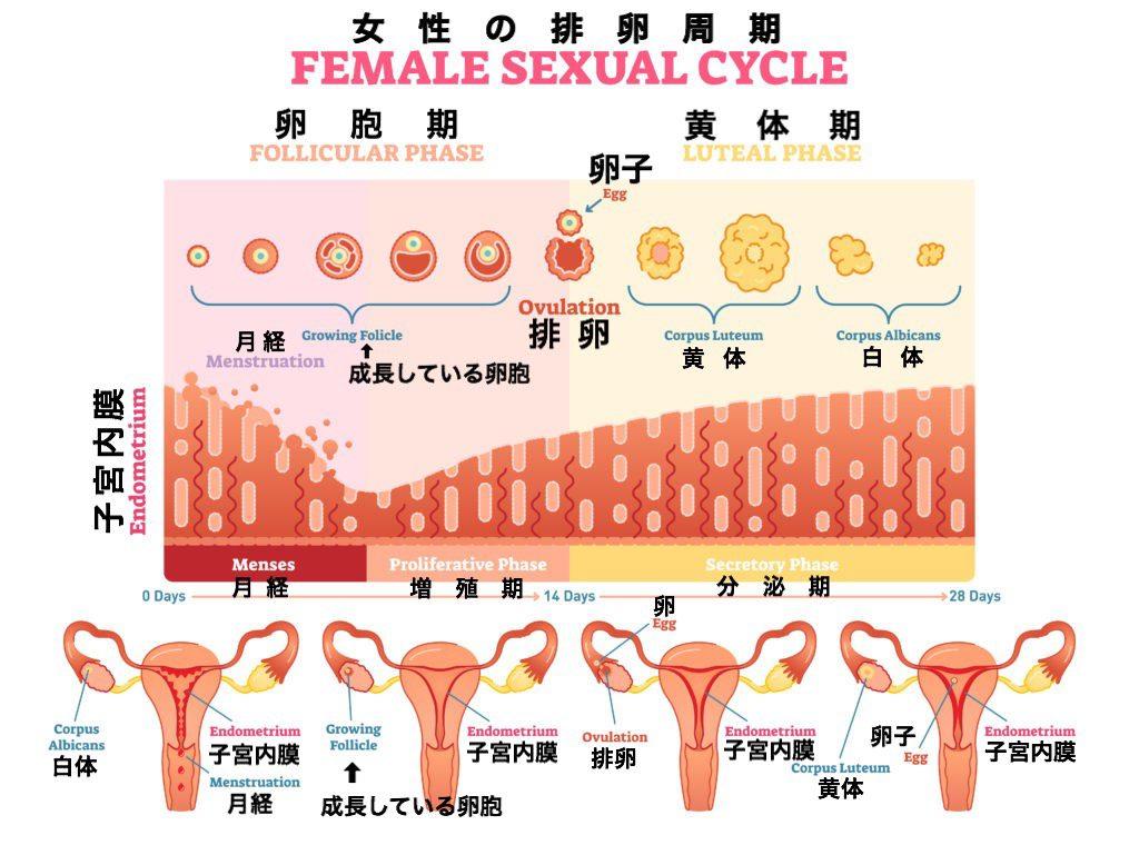 女性の排卵プロセス