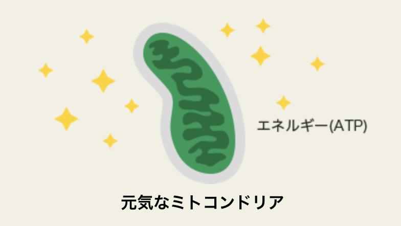 元気なミトコンドリア
