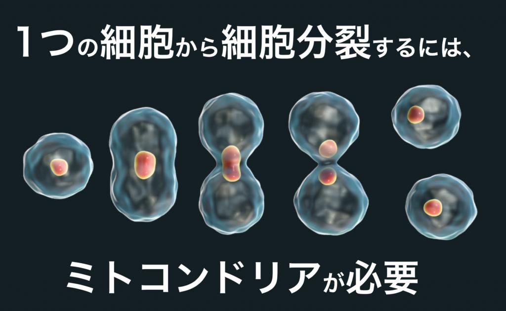 細胞分裂にはミトコンドリアが大切