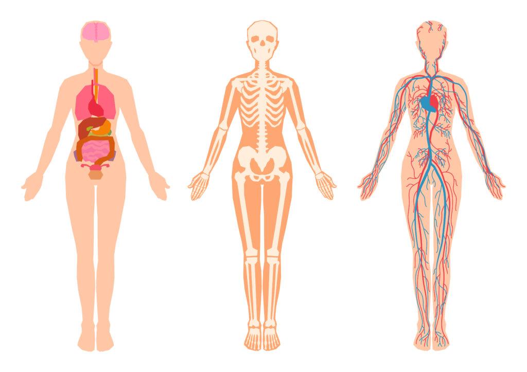 五臓六腑、骨格、神経